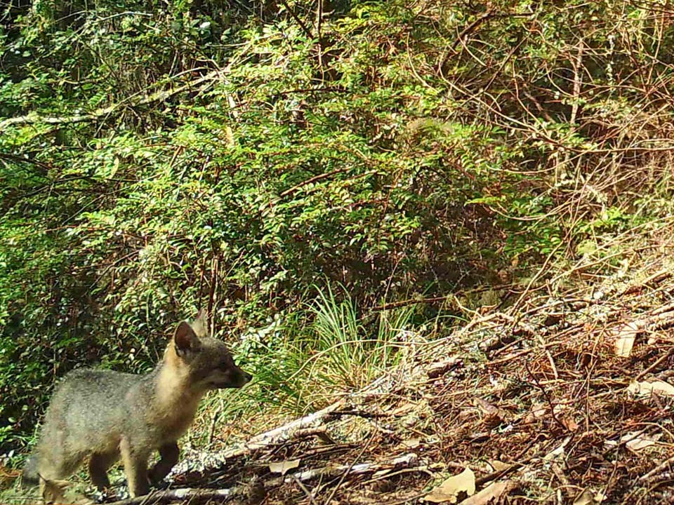 Wildlife camera image of a baby gray fox climbing up a steep slope.