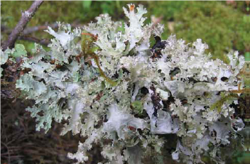 a close up image of a clump of light green lichen on a branch