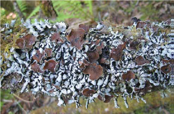 a close up image of brown/light green lichen on a branch
