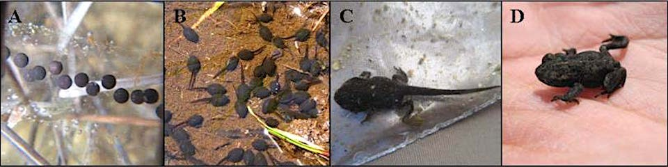 A series of images show development of a western toad from egg to tadpoles to larva metamorphosis to juvenile toad.