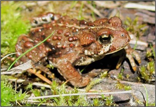 A brown toad