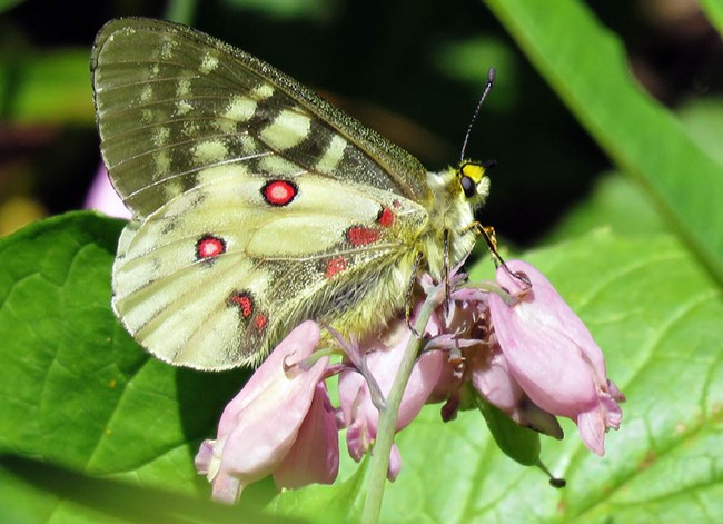 Black and yellow butterfly with red spots perched on a cluster of small pink flowers