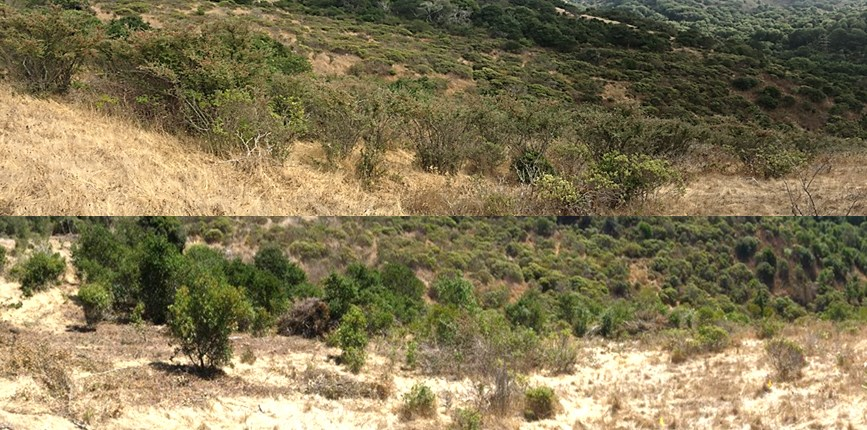 Oakwood Valley before (above) and after (below) invasive cotoneaster was removed