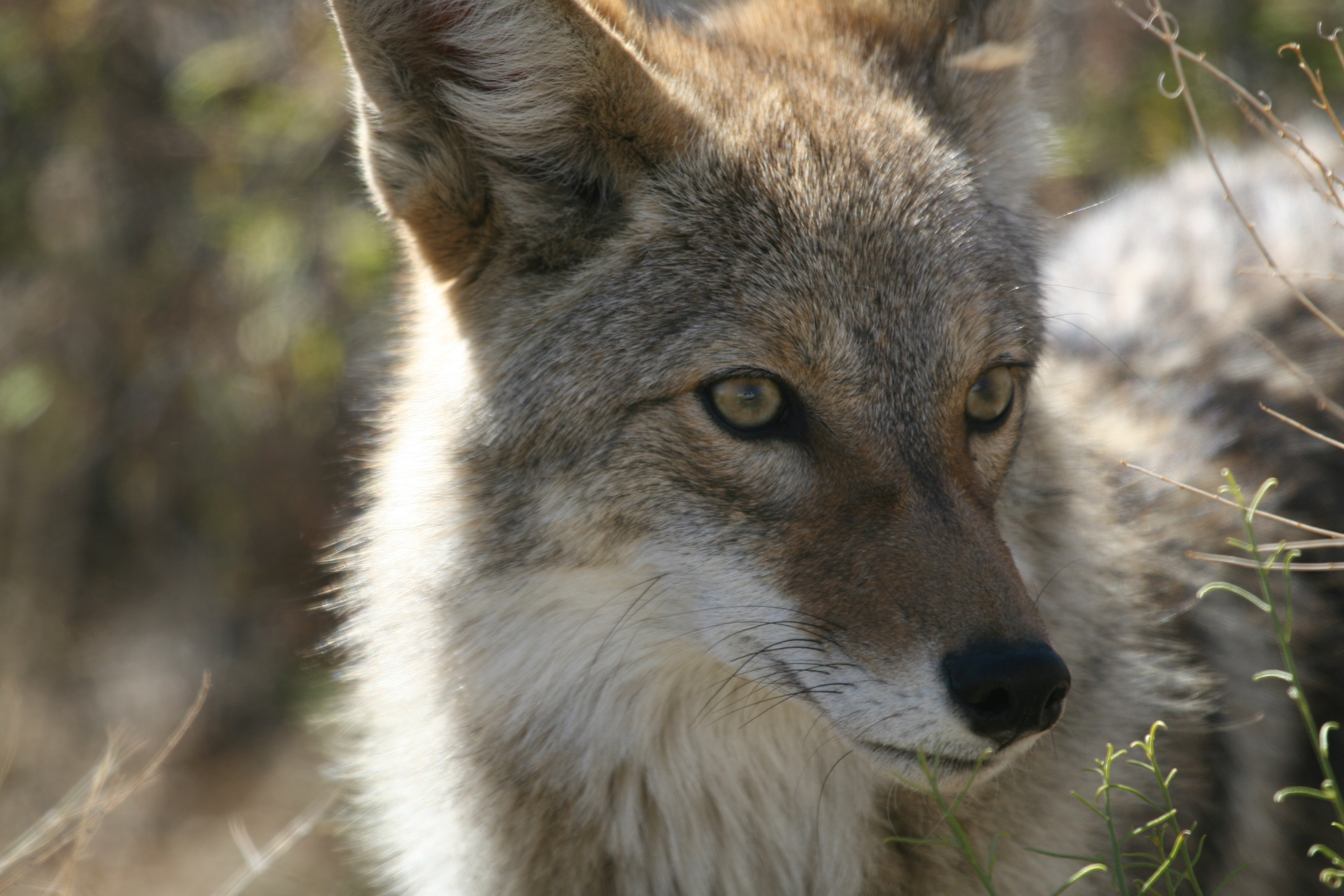 A coyote pricks its ears to sounds in its environment