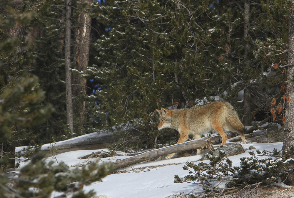 A coyote with a thick winter coat walks through snowy, dense forest in Yellowstone National Park.