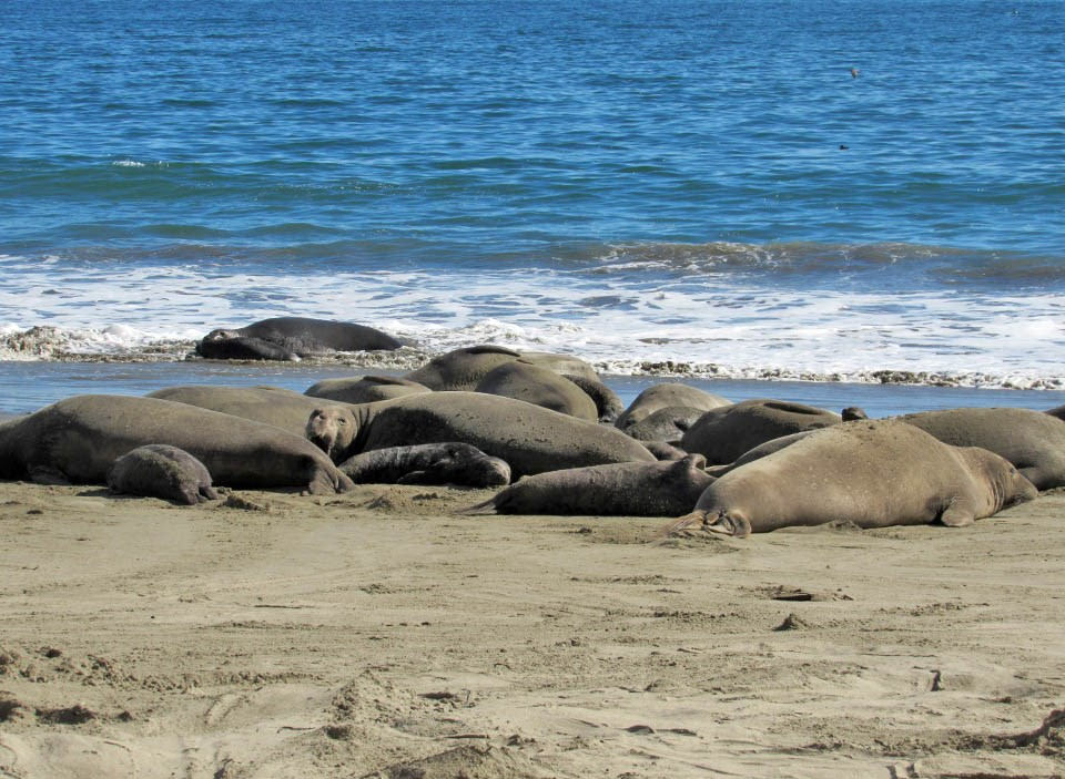 A group of female elephant seals and their pups at the water line on Drakes Beach