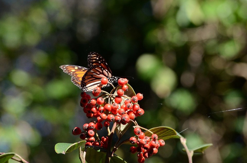 Monarch butterfly on red berries