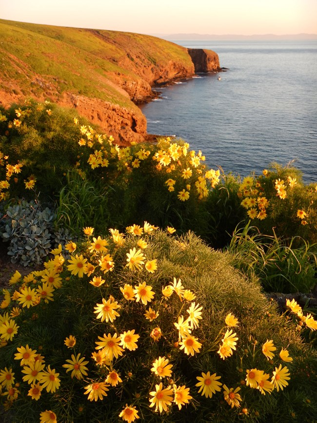 Giant coreopsis in full bloom with the island coastline in the background