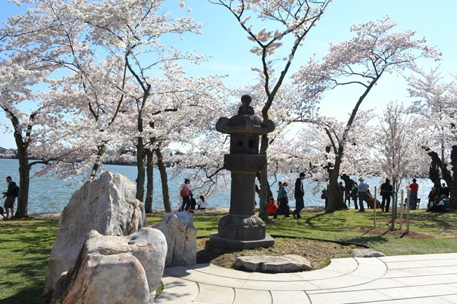 Japanese stone lantern among blossoming cherry trees