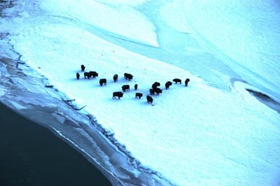A herd of bison standing on a field of snow and ice in Wrangell-St. Elias National Park and Preserve