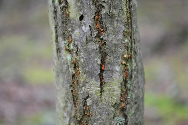 Bright orange growths of chestnut blight cankers appear in fissures of tree bark.
