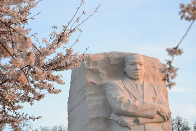 Dr. Martin Luther King Jr. sculpture glowing in morning sun with in bloom cherry trees in the foreground.