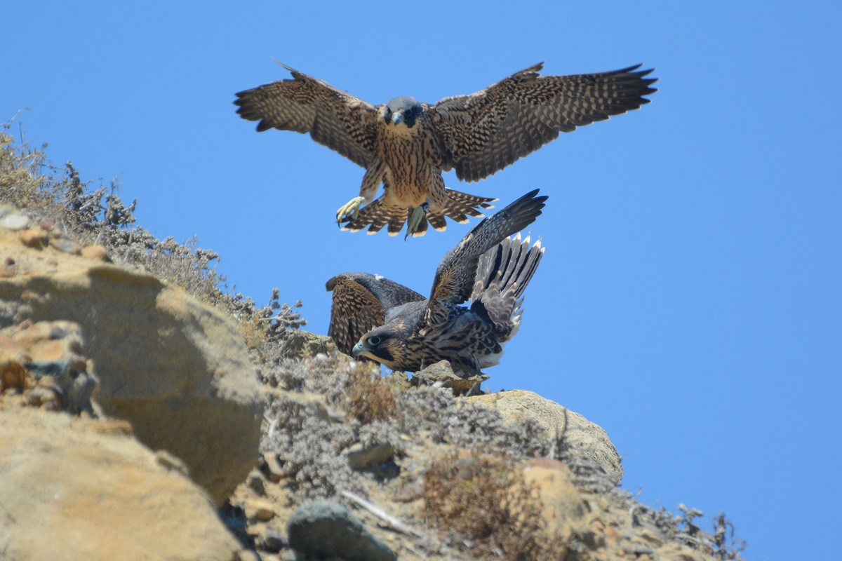 Juvenile male peregrine landing near female