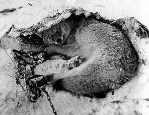 A coyote is caught in a trap in 1929 in Yellowstone National Park.