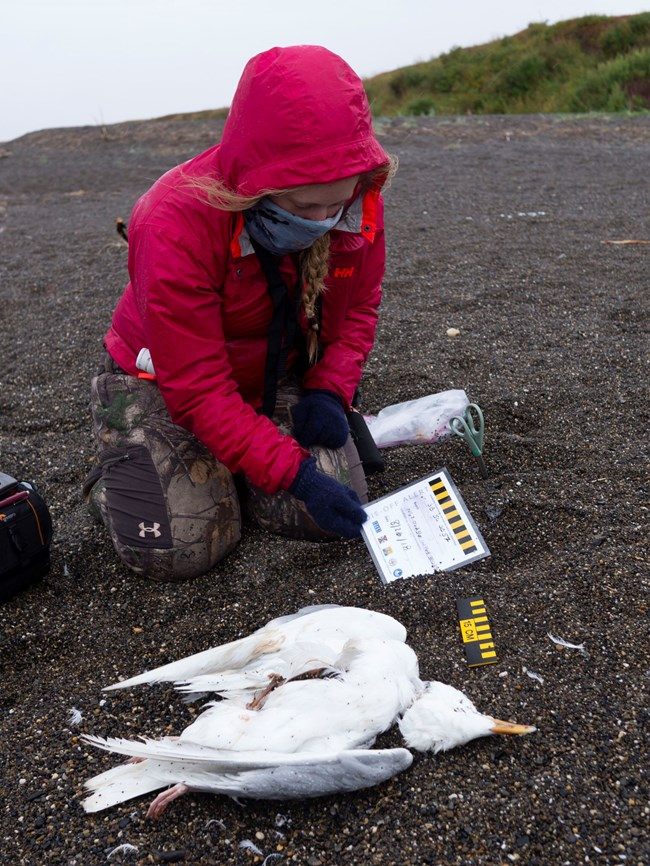 A researcher examines the carcass of a dead bird on the beach.