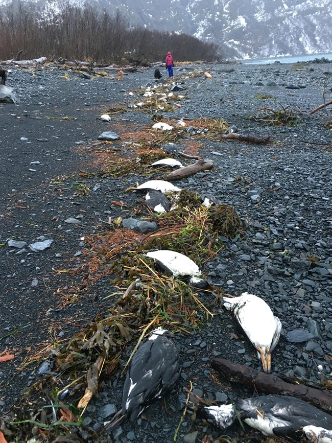 A woman walks along the shore lined with multiple bird carcasses.
