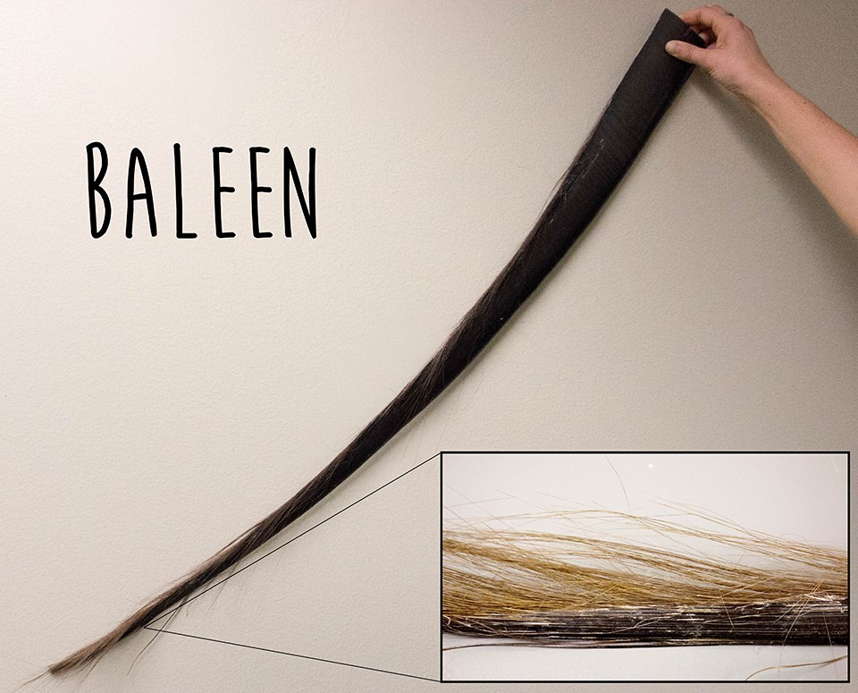 a long piece of shiny black baleen with an inset showing small frayed hairs at the end