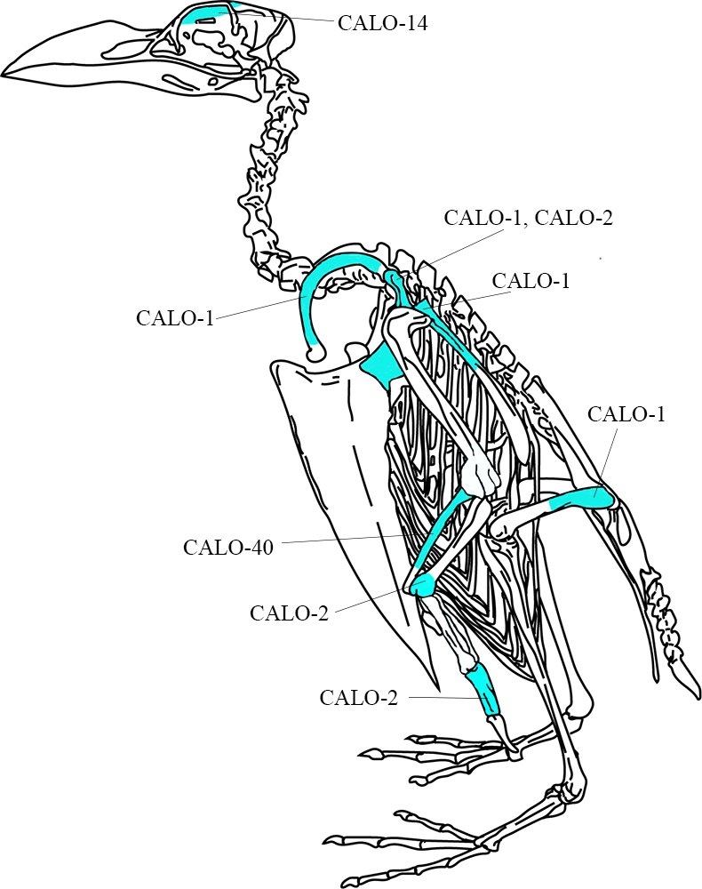 Diagram of great auk skeleton