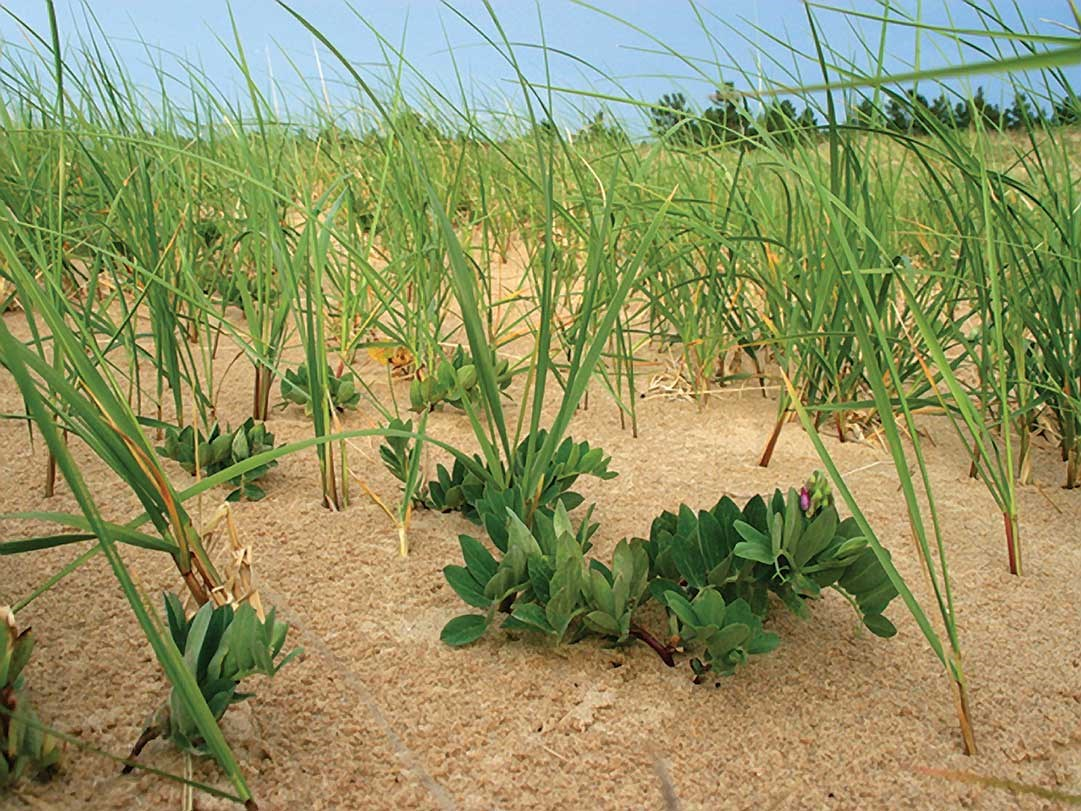 Beach peas at Sleeping Bear Dunes National Lakeshore are surrounded by marram grass, a common plant associate