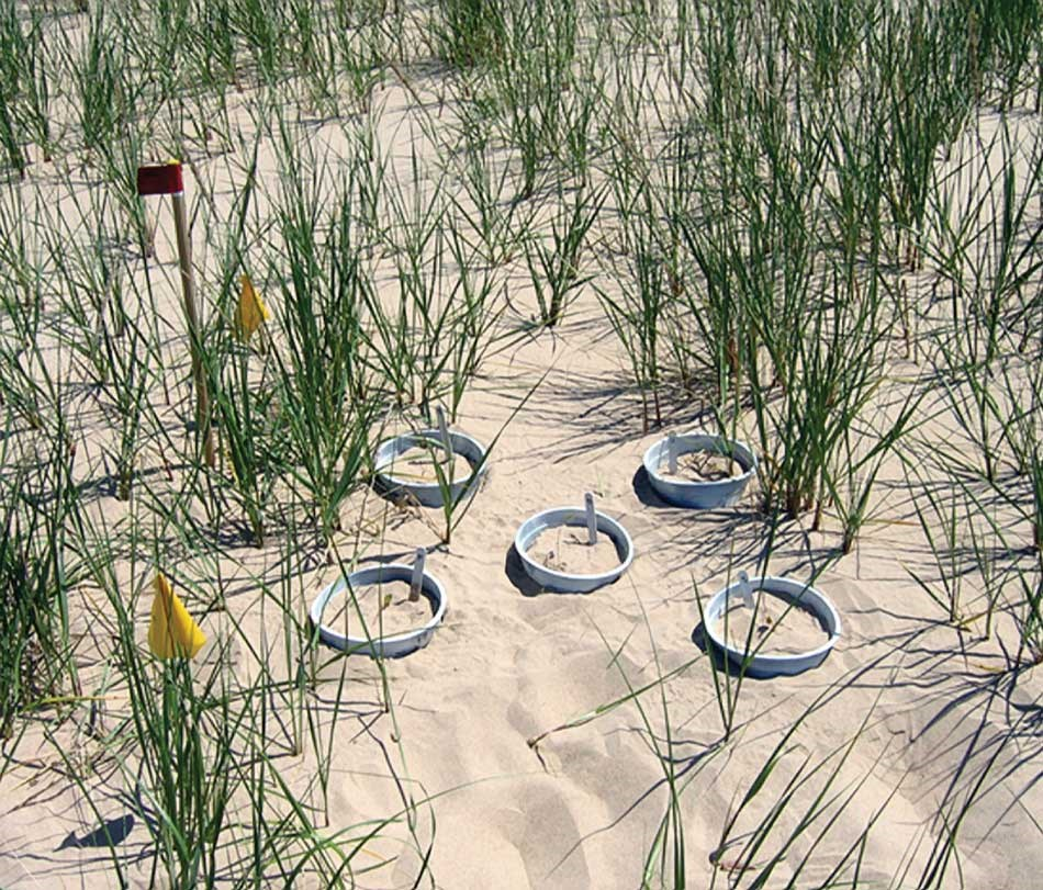 Beach peas in the water treatment zones were ringed with plastic collars to help retain moisture. Pins marked with red flags allowed resource managers to measure sand erosion and accretion.