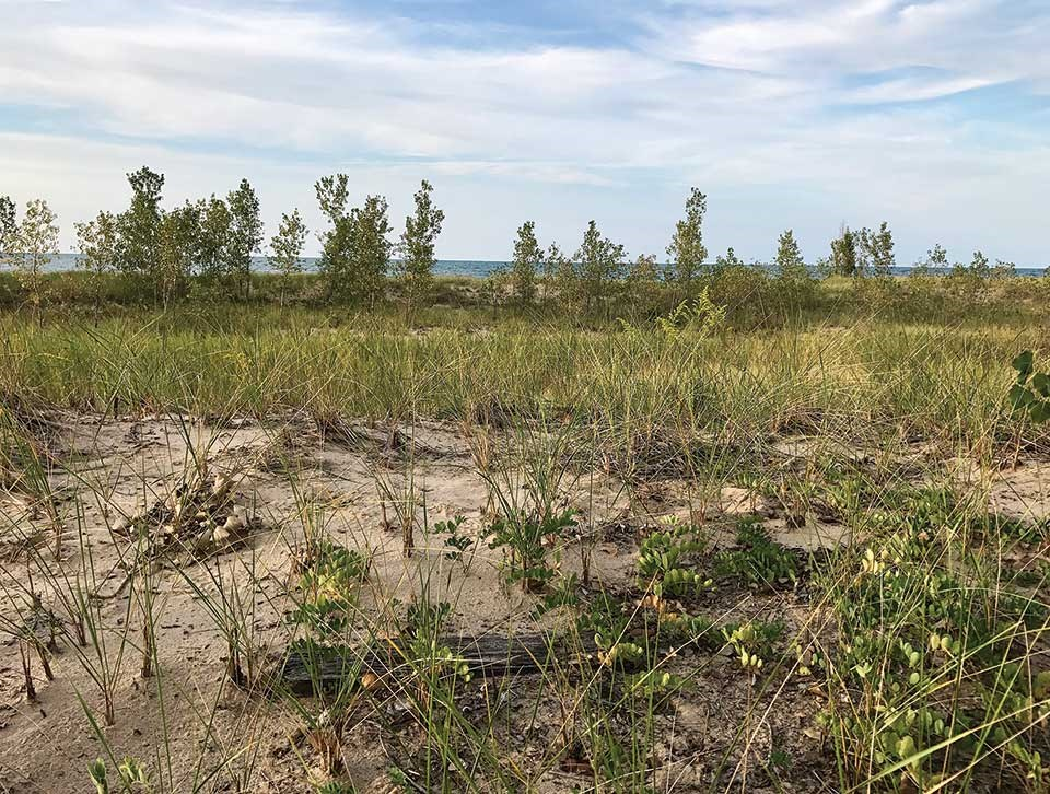 Beach peas grow on a secondary foredune at the West Site after reintroduction. This location offers protection against potential erosion from high lake levels at the primary foredune reintroduction site, which is nearer to the lakeshore.