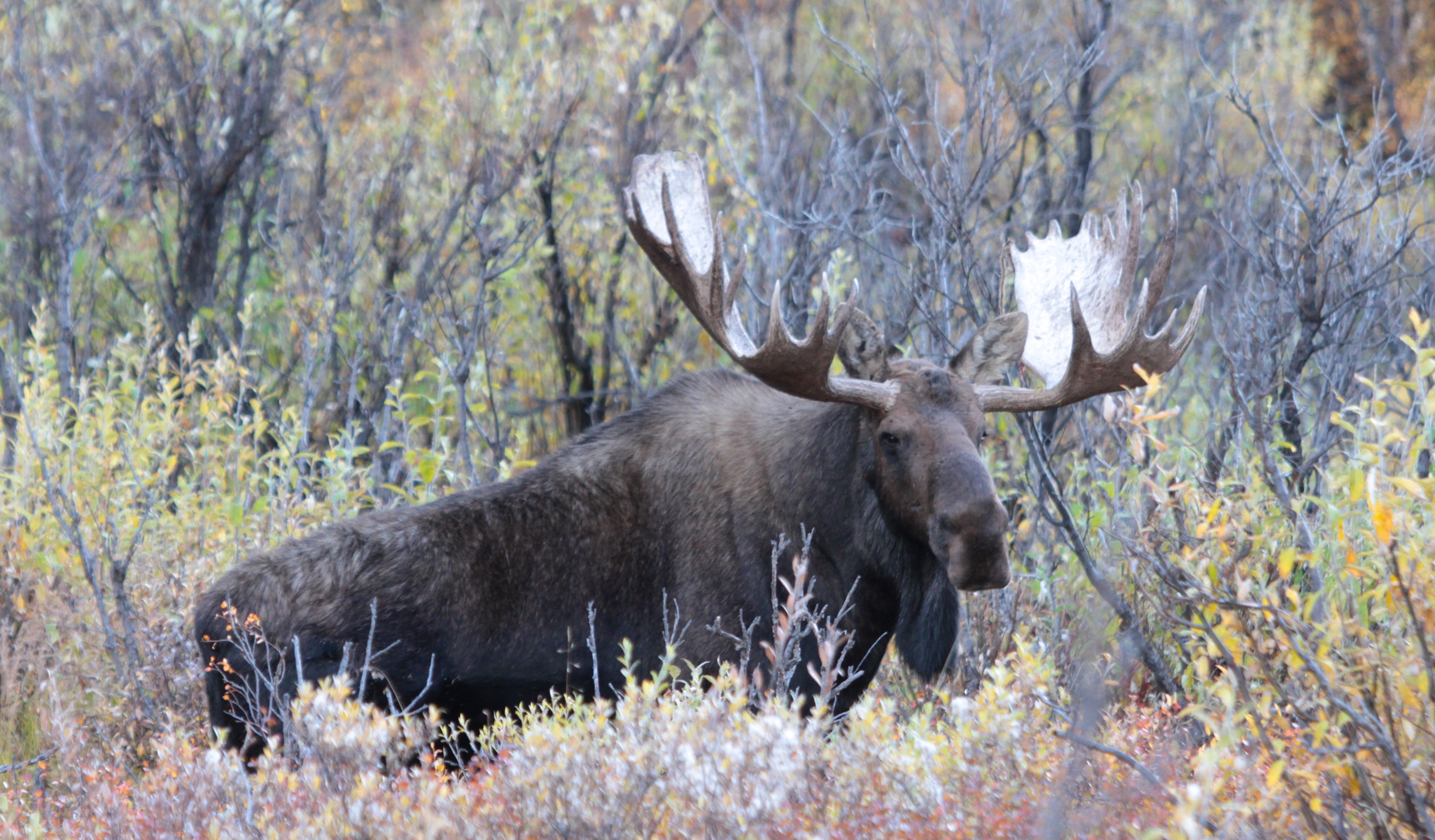 Moose: Did You Know? (U.S. National Park Service)