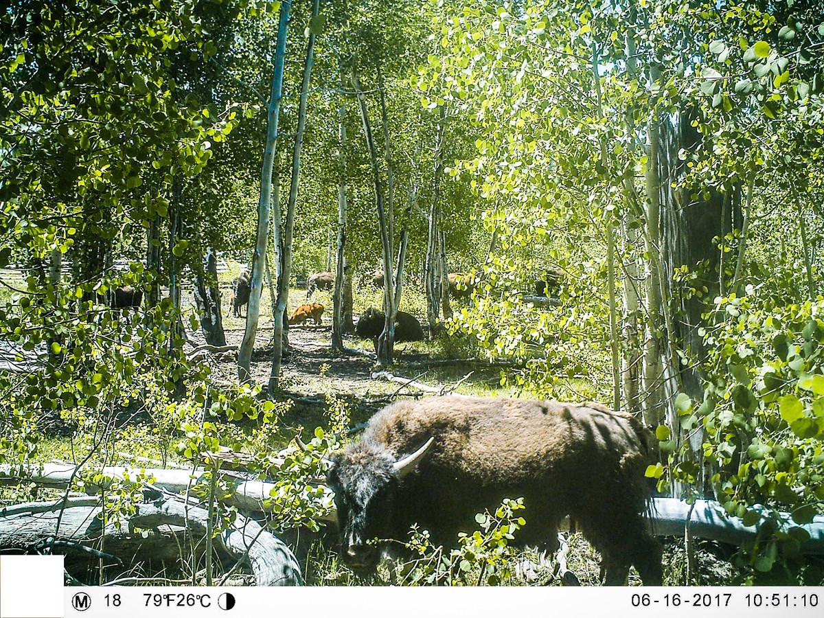 Herd of bison grazing through a lush, green forest full of aspen trees and downed logs.