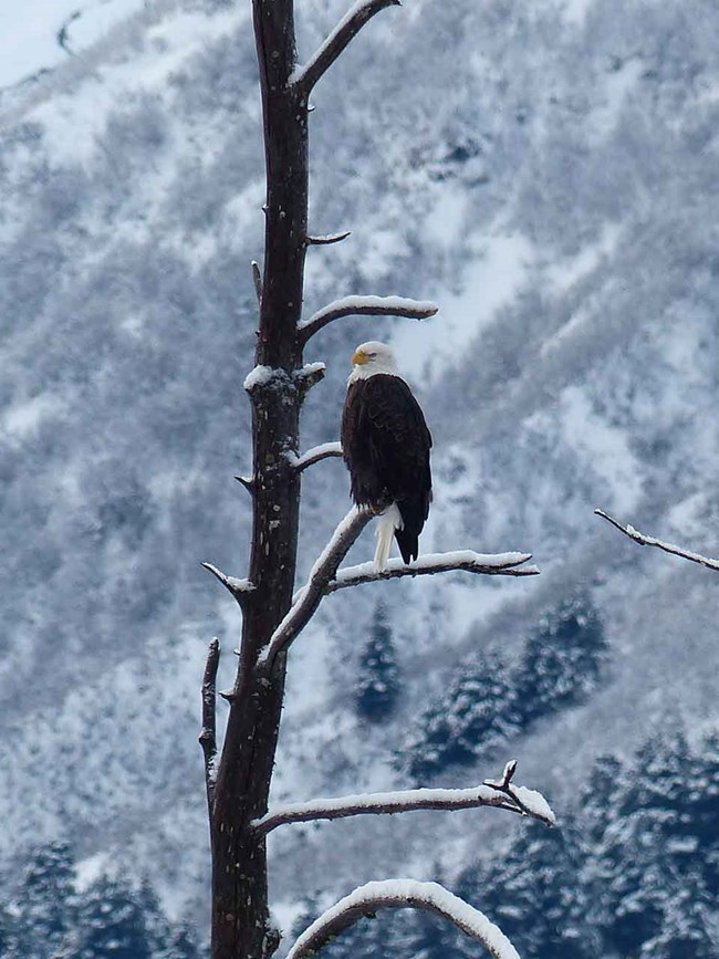 A bald eagle in a wintery landscape.