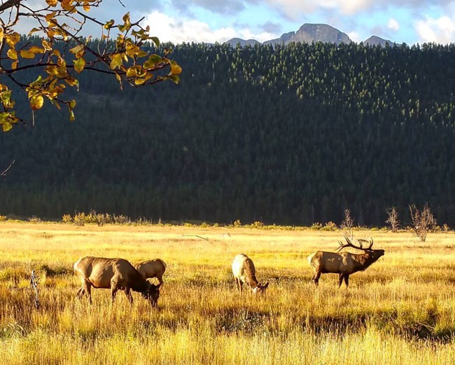 Elk graze in a meadow with mountains behind them at Rocky Mountain National Park, CO.