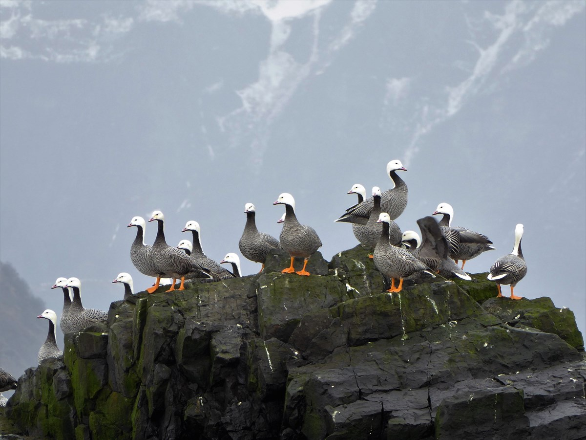 Emperor geese standing on a rock