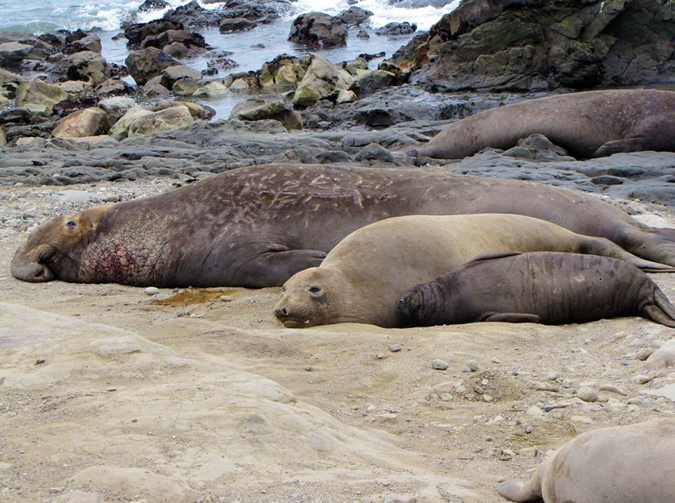Three elephant seals of different sizes lying on a beach
