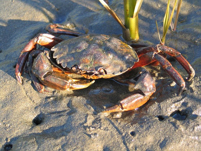 An orange, brown, and red crab in the mud