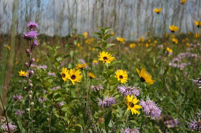 Prairie Wildflowers at Pipestone National Monument