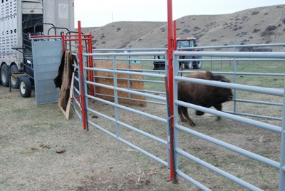Bison running out of a loading truck to follow the path created by metal fences to it release site
