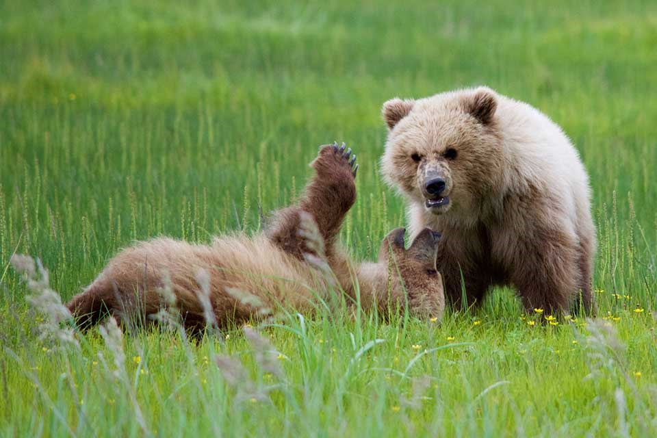 Two bear cubs playing.