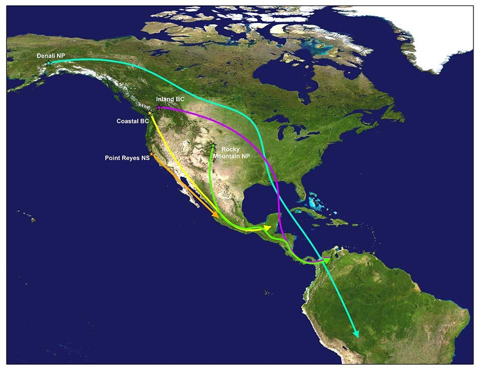 Map of the western hemisphere and the thrush migration routes.