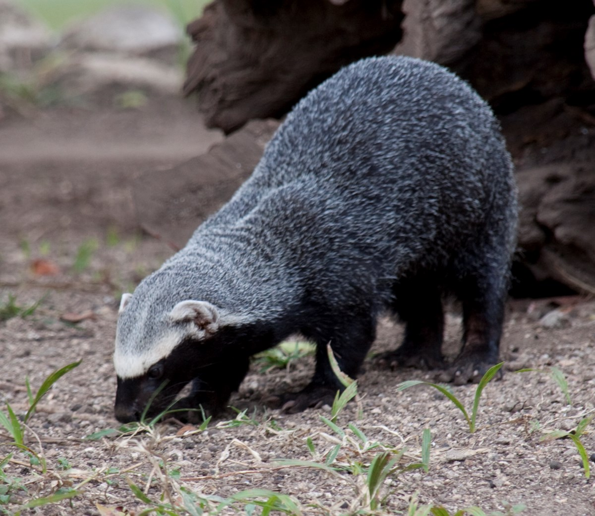 a small badger-like animal with a gradation of black, white, and gray fur. Its nose is to the ground