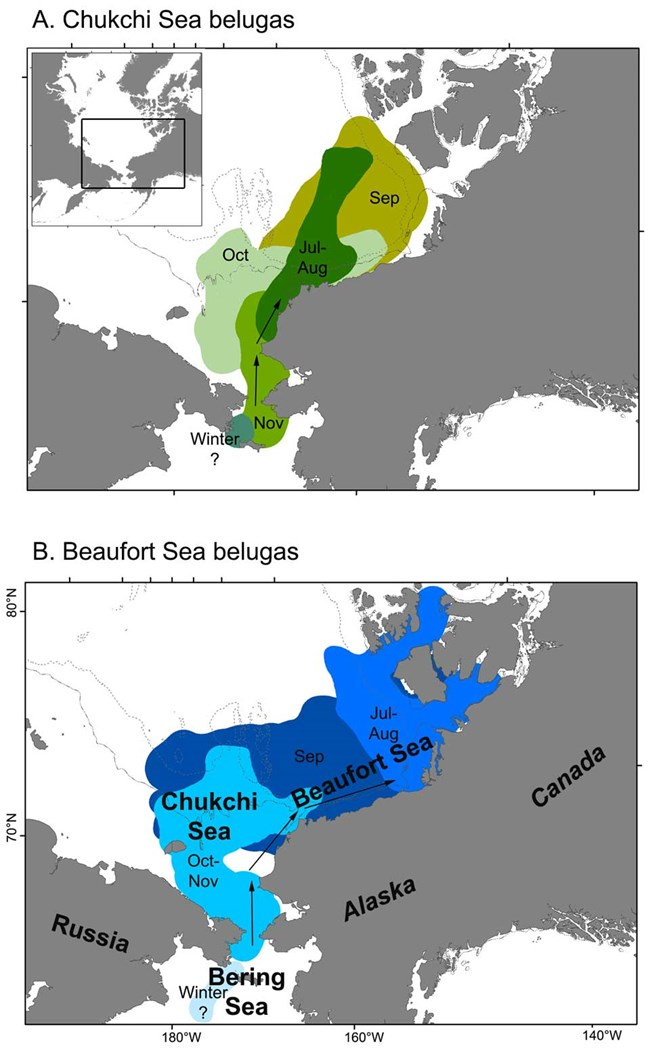 A series of two maps that show population ranges for beluga whales in the Arctic.