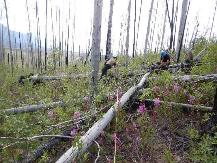 Figure 1.  Monitoring the effects of fire in Wrangell-St. Elias, eight years after the 2009 Chakina fire (NPS photo 2017).