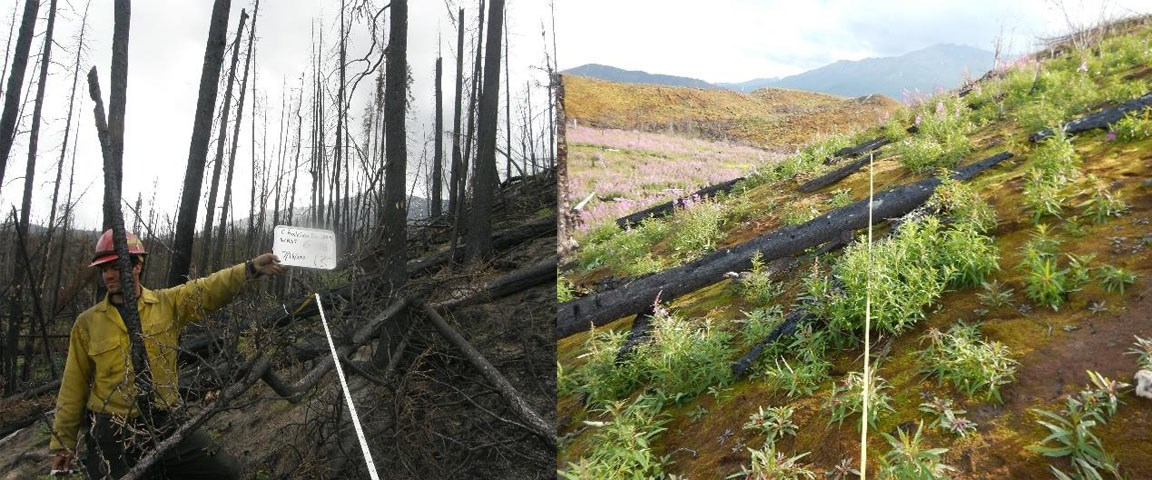 Two pictures side-by-side of a white spruce forest that was burned in 2009. Image on left is ashen. Image on right shows considerable, green regrowth.