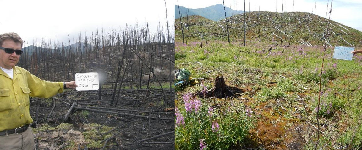 Two photos side-by-side of a black spruce forest that was burned in 2009. Image on left is ashen. Image on right shows considerable regrowth.