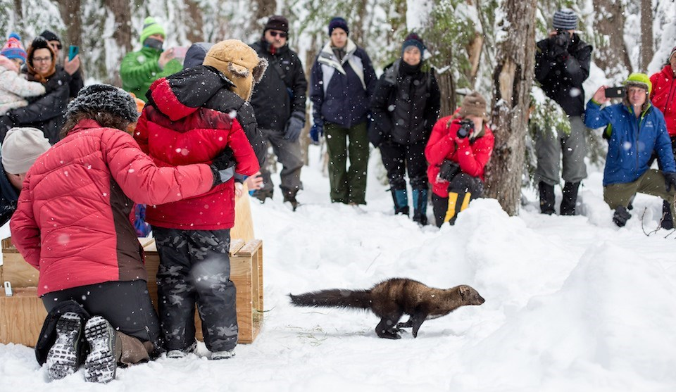 A weasel-like mammal runs out of a wood box into snow as people with cameras watch.