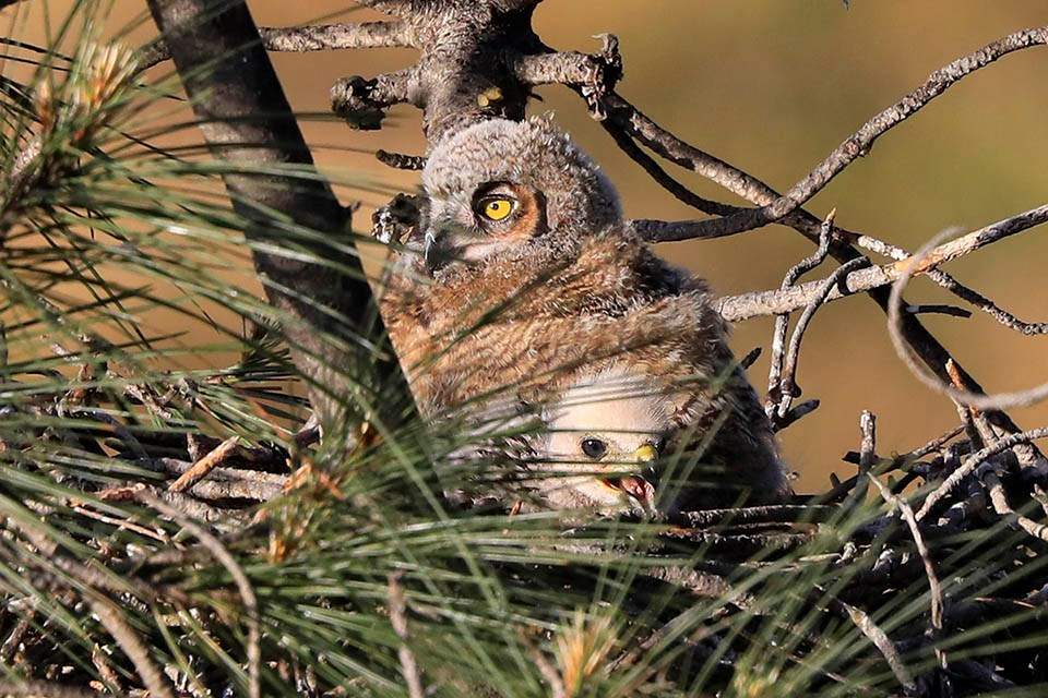 A young great horned owl and red-shouldered hawk side by side in their shared nest