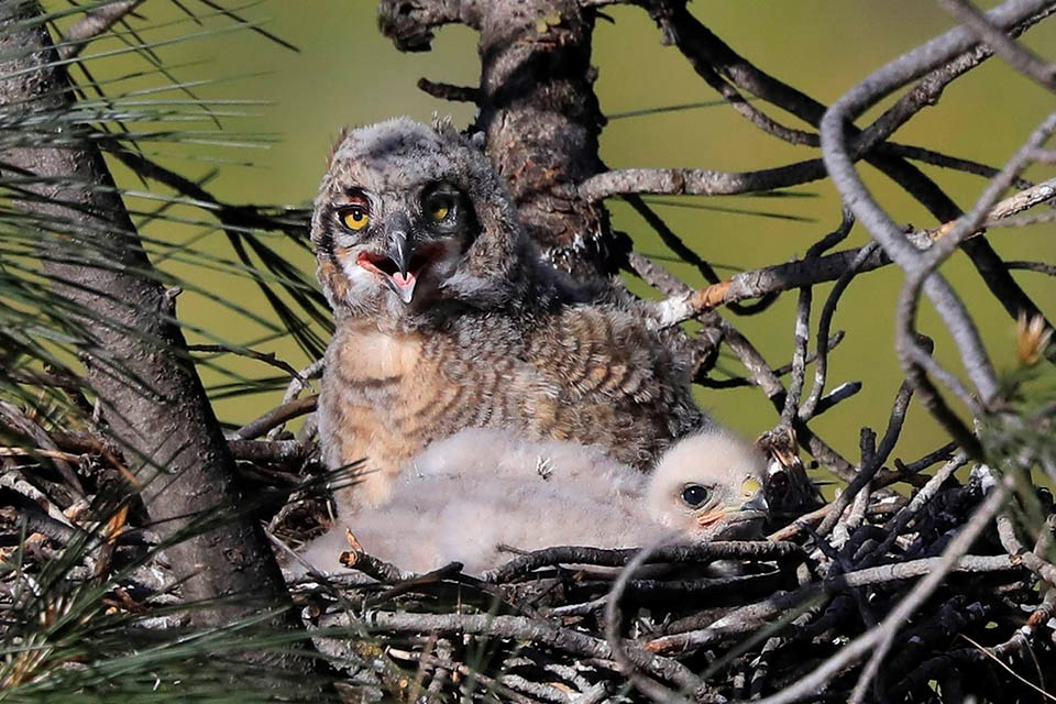 Great horned owl and red-shouldered hawk nestlings peering out from the same nest