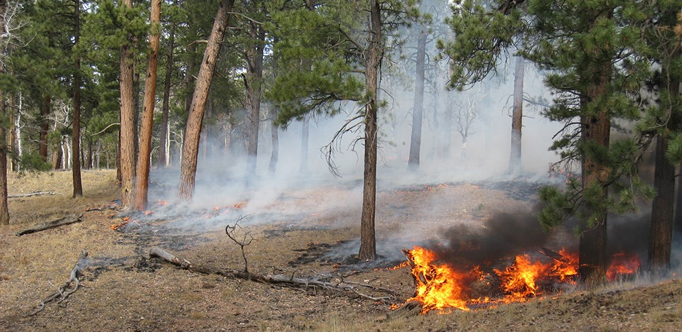 Small flames consume pine needles and dead trees in pine forest.