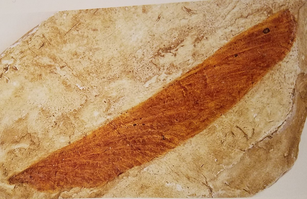 fossil dragonfly wing