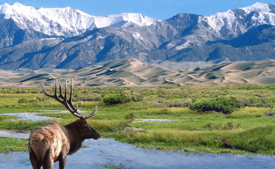A bull elk stands in water with sand dunes and snowy mountains in background