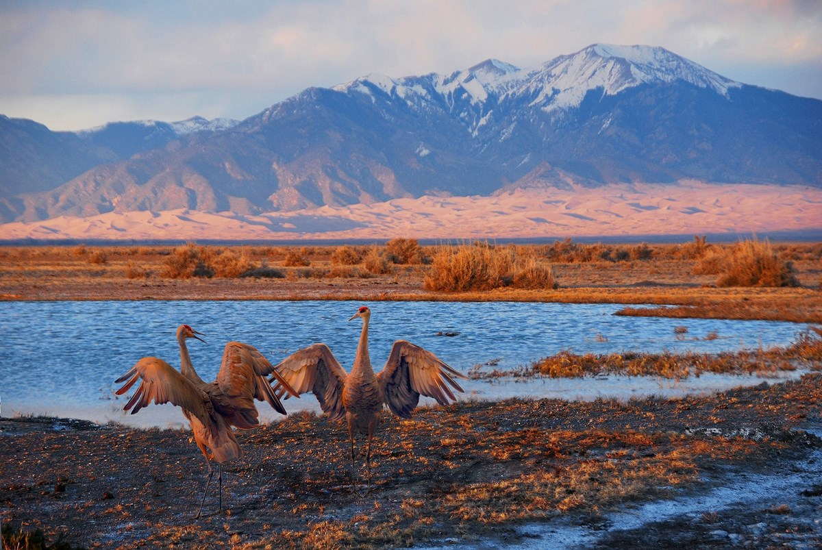 Two sandhill cranes dance in a courtship ritual, with mountains visible beyond at Great Sand Dunes National Park