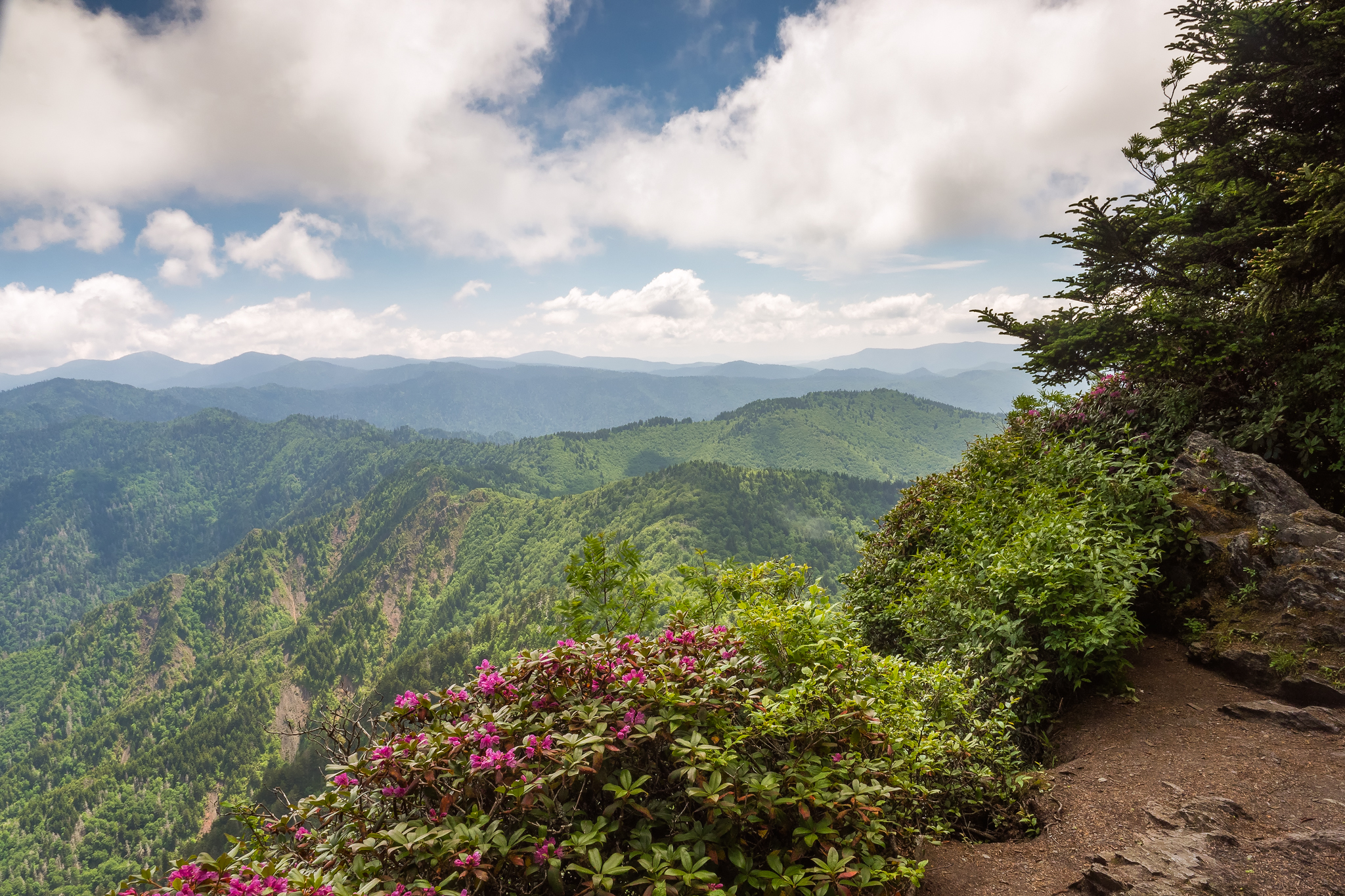 Summer view near the Boulevard Trail showing distant ridges beyond a flowering rhododendron Great Smoky Mountains National Park, Tennessee