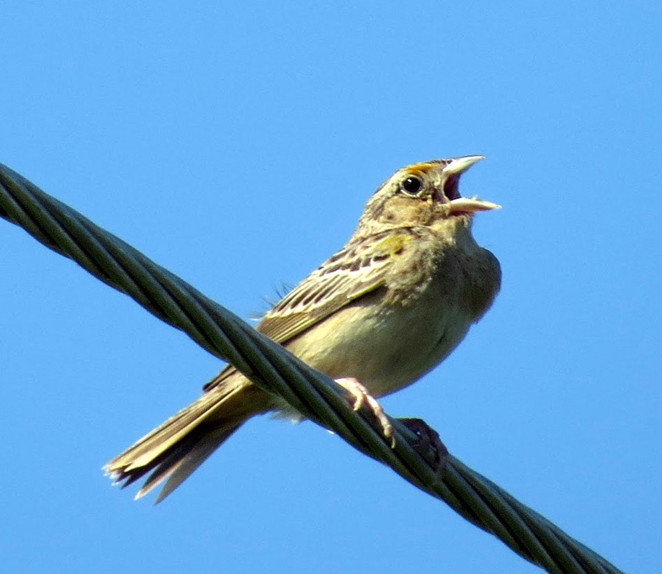 A grasshopper sparrow sings from atop a cable.